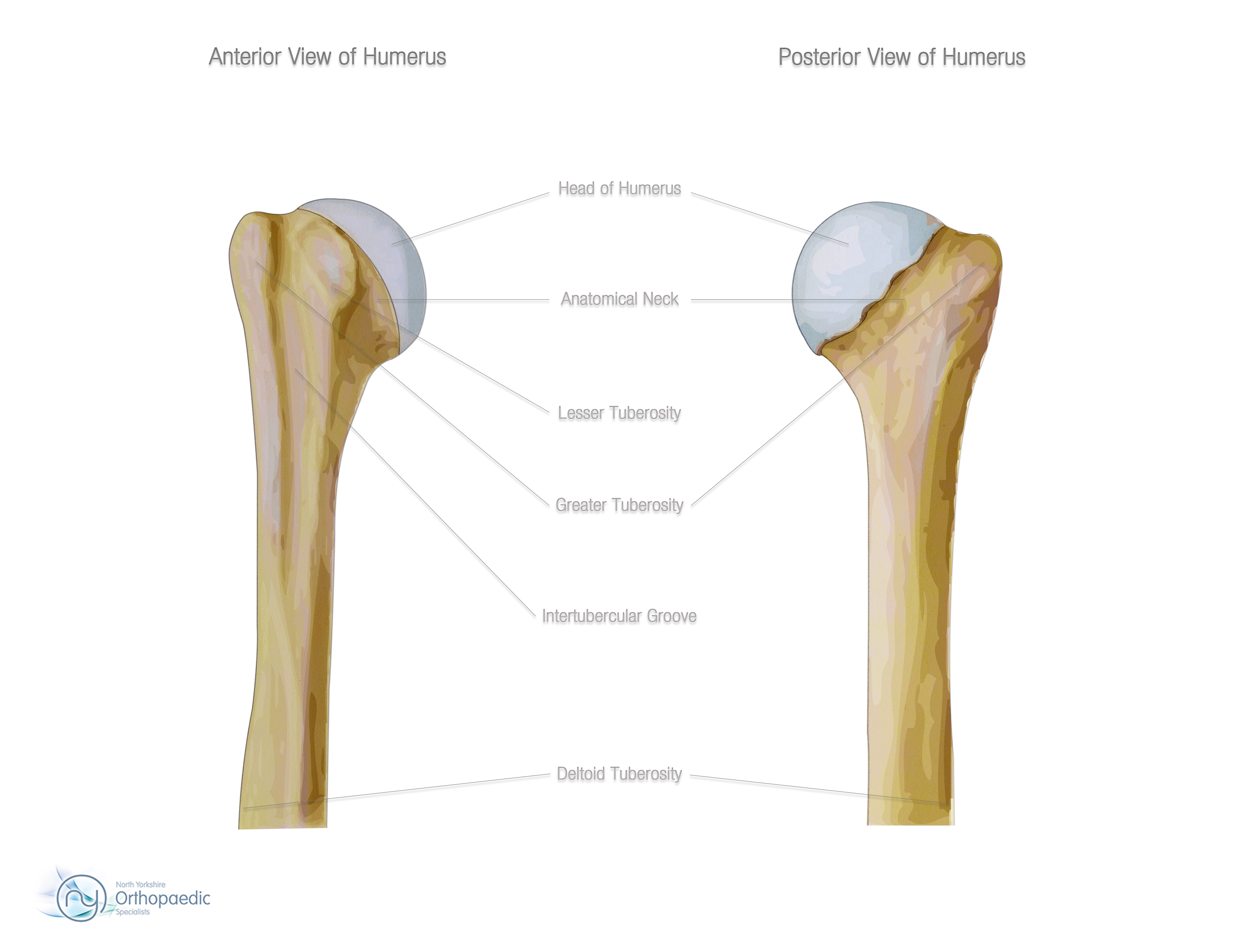 Bones & Joints of the Shoulder | Orthopaedic - Hywel Williams